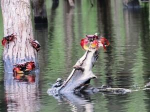 Krabbe in der Mangrove vom Saco de Mamanguá