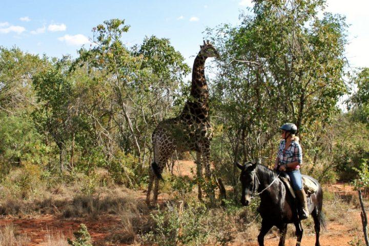 Giraffe auf Reitsafari in Südafrika