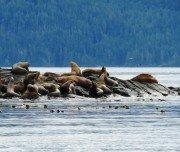 Seelöwen auf Vancouver Island