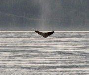 Wale beobachten bei Vancouver Island
