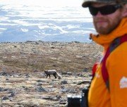 Polarfuchs bei Wanderung auf Island