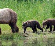 Grizzly mit Jungen
