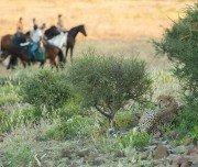 Gepard bei Wanderreiten in Botswana