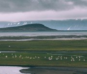 Singschwäne auf Island