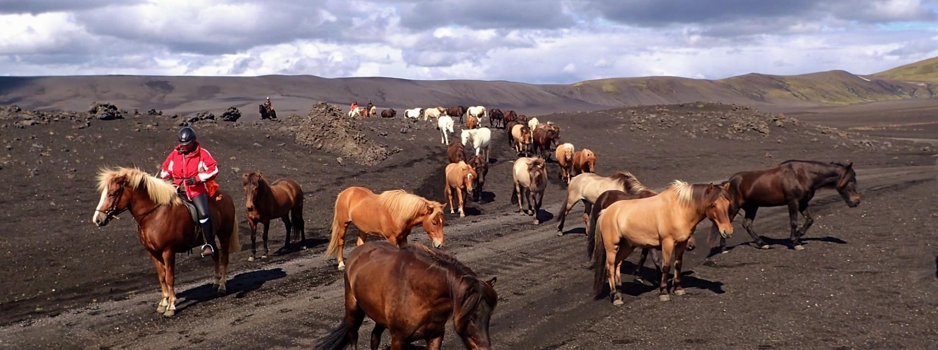 Pferdeherde auf Lavafeld in Island