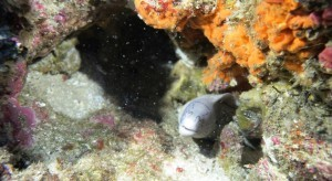 Pepper Moray Eel
