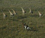 Im Galopp mit Giraffen