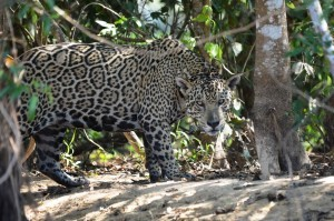 Der mächtige Jaguar