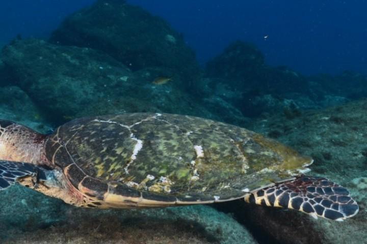 Schildkröte - Fernando de Noronha - Brasilien