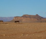 Wilde Esel in der Sahara, Marokko