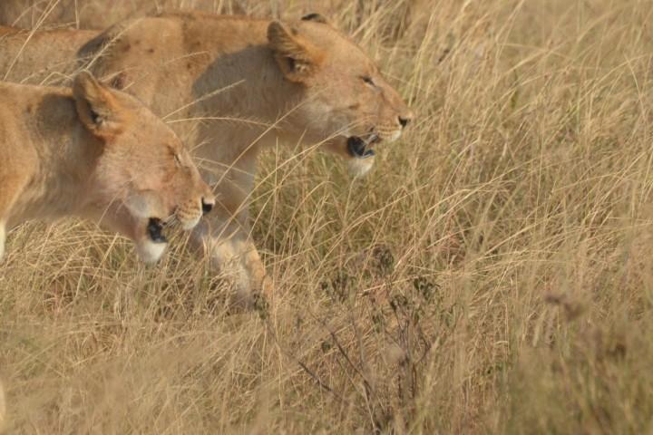 Löwen auf der Pirsch in Südafrika