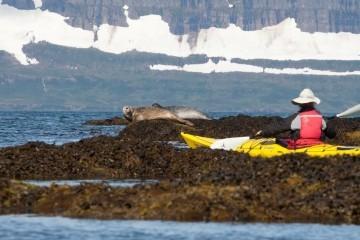 Robben sichten Island