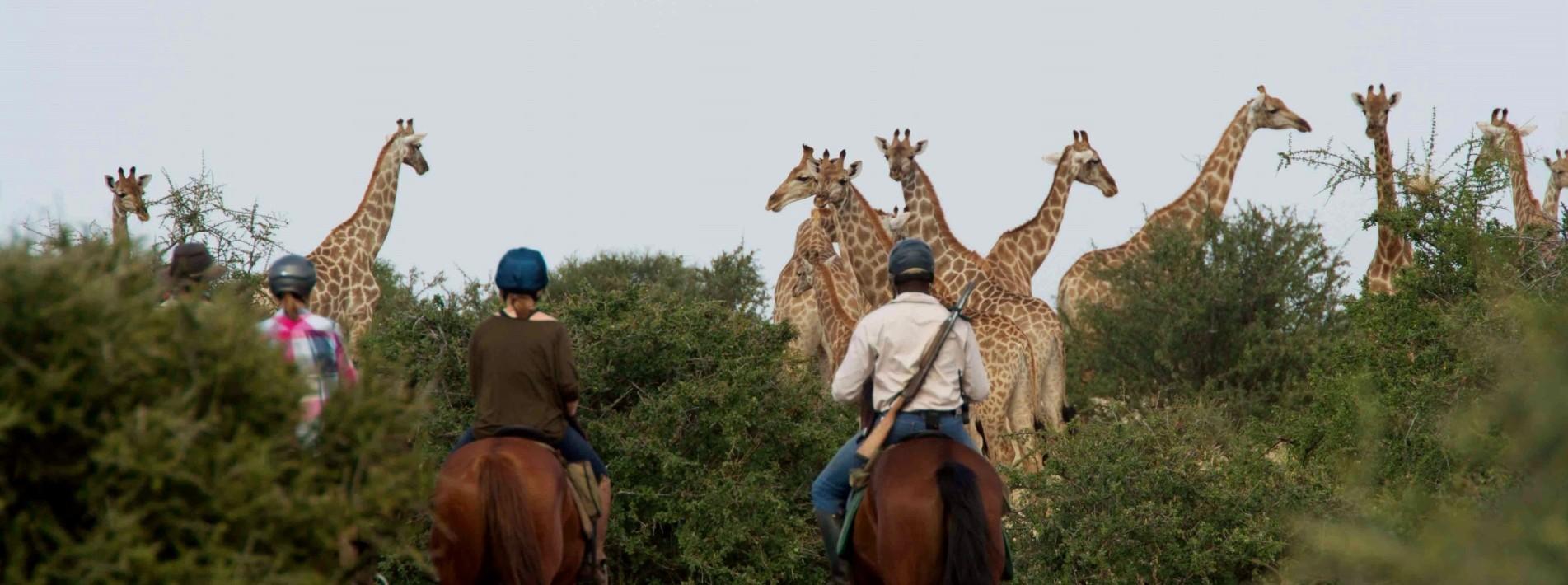 Giraffenherde Botswana