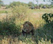 Löwe bei Trailritt in Botswana