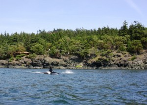 Killerwal beim Kajak fahren