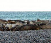 Robben am Strand - Halbinsel Valdez