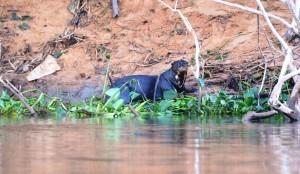 Vom Aussterben bedrohte Riesenotter