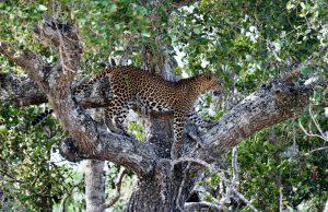 Leopard im Yala Nationalpark
