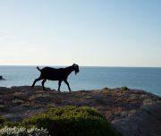 Ziege an der Küste