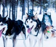 Huskys im Winter