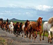 Freilaufende Pferde auf einem Ritt
